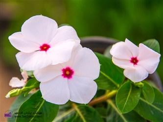 نگهداری گل پریوش