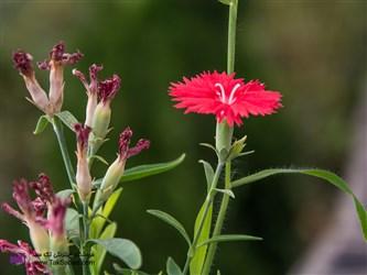طرز کاشت گل قرنفل