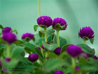 پرورش گل تکمه ای