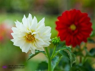 مشخصات گل کوکب