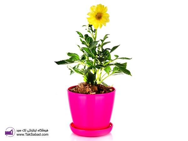 گل کوکب