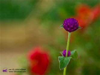 کاشت گل تکمه ای