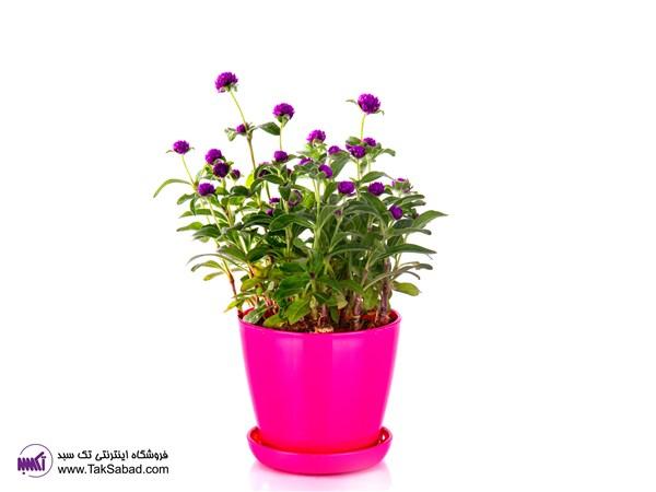 گل دکمه ای